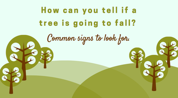 How can you tell if a tree is going to fall? Common signs to look for.